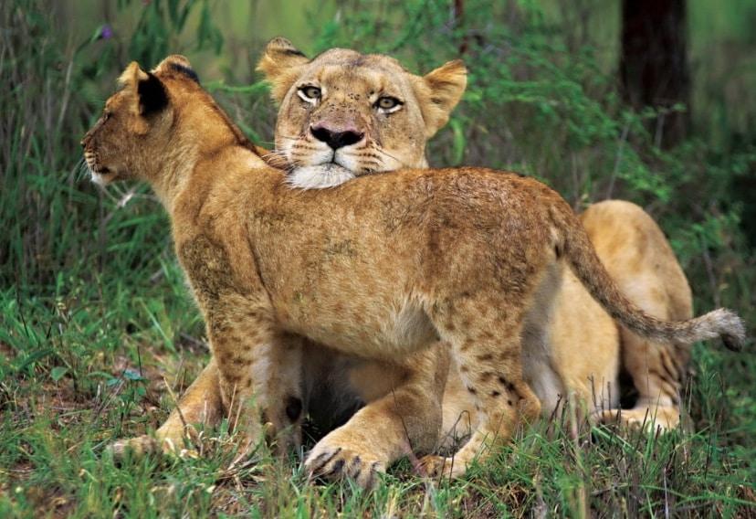 leoas no Kapama