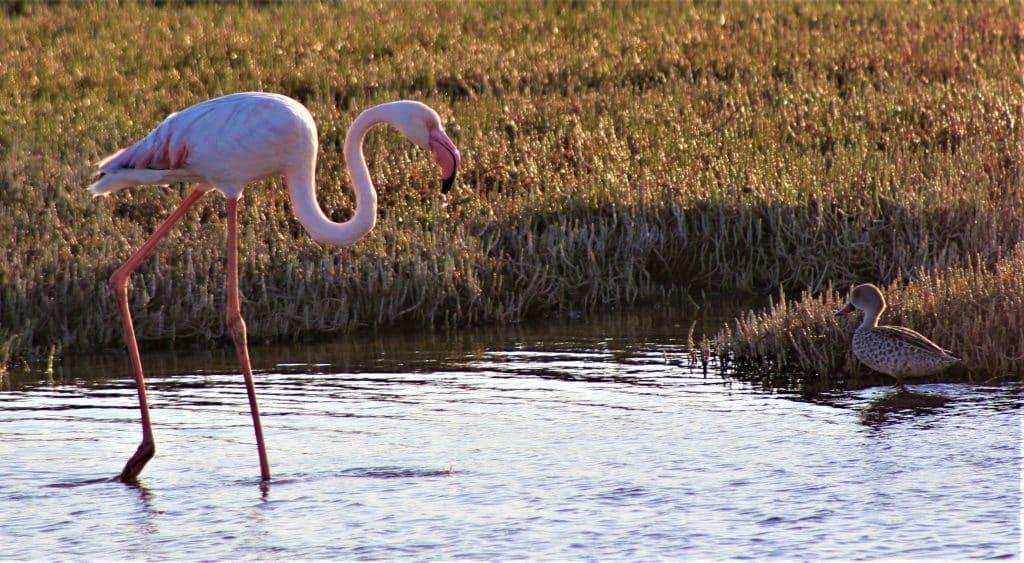 flamingo Walvis Bay